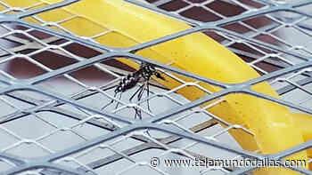 Condado Dallas: Detectan virus del Nilo Occidental en grupo de mosquitos - Telemundo Dallas