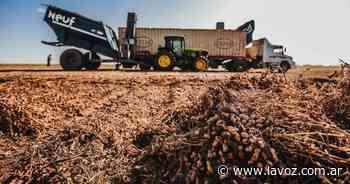 Maní: evalúan los beneficios de los cultivos de cobertura para el control de la erosión eólica - La Voz del Interior