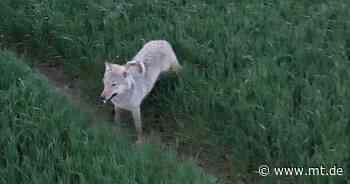 Landesamt bestätigt: Video aus Porta Westfalica zeigt einen Wolf - Mindener Tageblatt