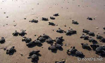 Contribuye Policía Municipal de Tecolutla en liberación de mil tortuguitas - NORESTE