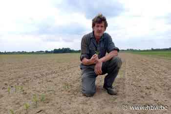 Bilzense boeren in zak en as: kraaien vernielen massaal maisakkers - Het Belang van Limburg