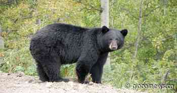 Black bear sightings reported in north end of Lindsay: police