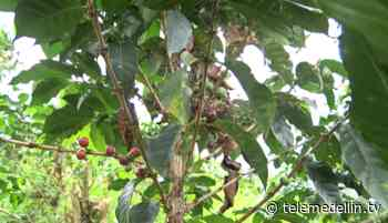 Cosecha cafetera en Antioquia en riesgo por bloqueos en Buenaventura - Telemedellín