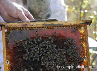 Mala cosecha de miel de primavera en la provincia de Jaén que no llega a una cuarta parte. - Campiña Digital