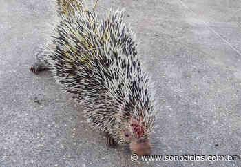 Porco-espinho ferido é resgatado em região de chácara em Sorriso - Só Notícias