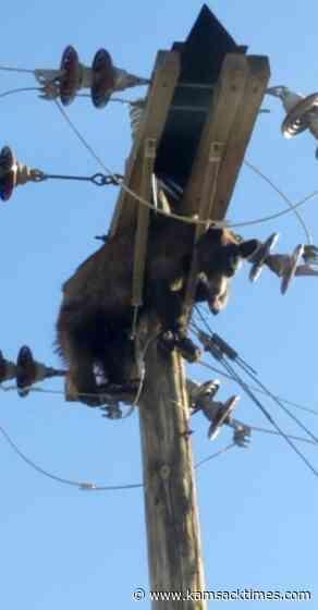 Bear found stuck on power pole in southern Arizona city - Kamsack Times