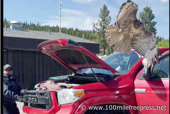 Police rescue hawk trapped in truck grill near Clinton – 100 Mile House Free Press - 100 Mile Free Press