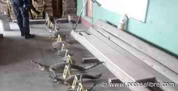 Tortugas, caimanes, quijadas de tiburón: los hallazgos del MP y PNC en tres allanamientos - Prensa Libre
