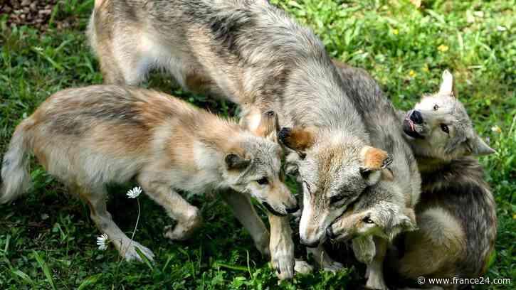 Por primera vez en 80 años nacen lobos en estadounidense Colorado - FRANCE 24