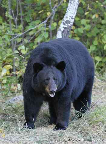 Bear sightings in Courtice - insauga.com
