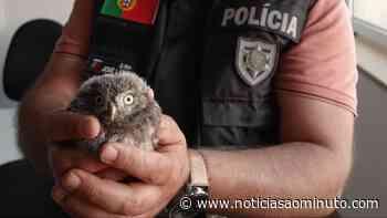 PSP resgata mocho-galego caído no chão em Castelo Branco - Notícias ao Minuto