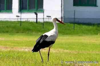 Nur auf der Durchreise: Storch geht in Hainichen auf Futtersuche - Freie Presse