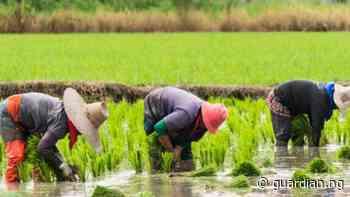 Katsina partners South Korean group, Dangote to train rice farmers - Guardian