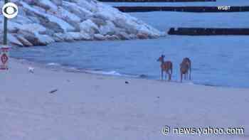 WEB EXTRA: Deer Frolicking In Lake Michigan - Yahoo News