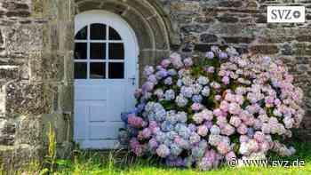 Blaue Blüten plötzlich rosa: Wann Hortensien Hilfe brauchen