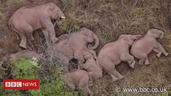 Sweet dreams! Wandering elephants take a snooze