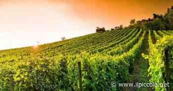 Dal Nebbiolo all'Ovada Docg: le capacità di invecchiamento dei vitigni - Il Piccolo