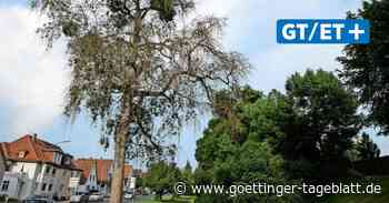 Darum geht es manchen Stadtbäumen in Duderstadt so schlecht - Göttinger Tageblatt