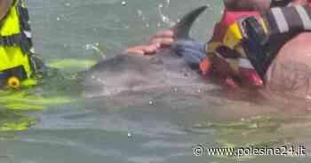 Cucciolo di delfino si perde a riva di Rosolina Mare - La voce di Rovigo