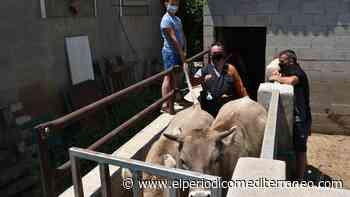 VÍDEO   Semen de un toro de Japón para 20 vacas de la Todolella - El Periódico Mediterráneo