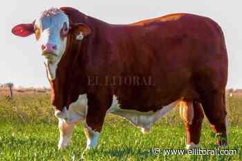 El toro de Vignatti para salir campeón - El Litoral