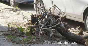 Retiran árbol caído y cables reventados en Versalles - Noticias en Puerto Vallarta - Tribuna de la Bahía