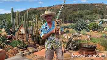 Cactus garden reminiscent of exotic South America blooms in Geraldton - ABC News