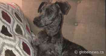 RCMP, animal services investigating after puppy fatally mauled near Surrey dog park - Global News