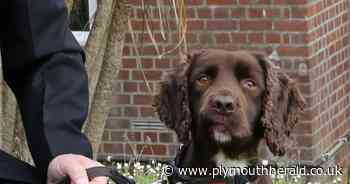 G7 Summit will see Plymouth dog Rolo protect world leaders on his final mission - Plymouth Live