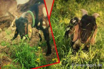 So verhalfen Tierschützer Ziegenbock Goblin in Torgau zu einem neuen Leben - TAG24