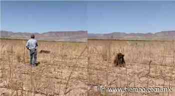 Liberaron los Lebaron un oso desplazado por incendio en Casas Grandes - El Tiempo de México