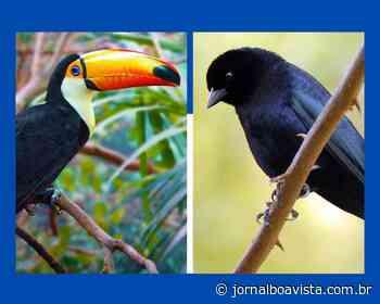 Tucanos de Erechim são bons em fazer ninhos, mas quem usufrui são os chupins - Jornal Boa Vista