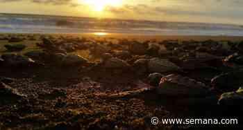 Tortugas del Pacífico, un proyecto familiar de conservación en Bahía Solano para proteger a estos animales que aún siguen persiguiendo por su carne y huevos - Semana
