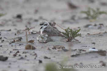 Plovers Successfully Nest for First Time on Carp State Beach Since 1960 - Santa Barbara Independent