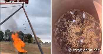 Video: la cruel matanza de ratones de un granjero australiano en medio de la descontrolada invasión - Clarín