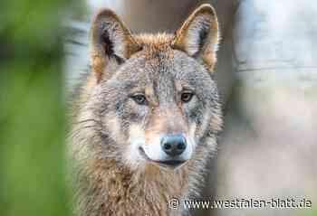 Wolf reißt Reh bei Bad Driburg - Westfalen-Blatt