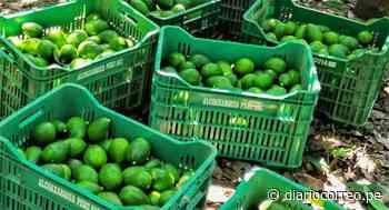 Ayacucho exportó 4500 toneladas de 'Oro verde' a mercados internacionales - Diario Correo