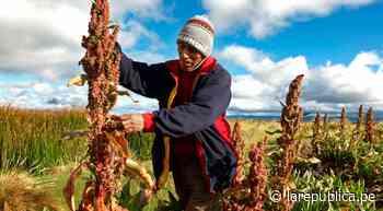 Ayacucho: impulsan mejoramiento genético de la quinua para combatir la anemia - LaRepública.pe