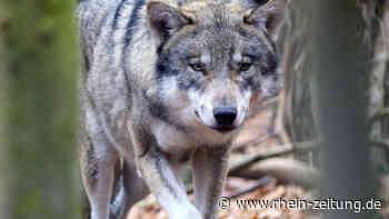 Erneute Vorfälle: Wolf reißt im AK-Land wieder mehrfach Schafe - Rhein-Zeitung