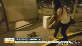 Tatu é flagrado andando pelo estacionamento de shopping em Piracicaba; VÍDEO - G1