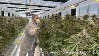Cannabis driving less risk than some drugs - Blue Mountains Gazette