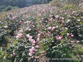 Merate: Antonio Marchese, ibridatore di rose, da ''Passoni fiori'' - Merate Online