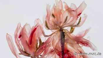 Fotografie: Wie eine Berliner Fotografin aus verwelkten Blumen große Kunst macht - moz.de