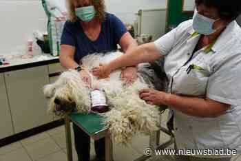 """Dierenziekenhuis heeft dringend bloed nodig: """"In nood geven we hondenbloed aan katten"""""""