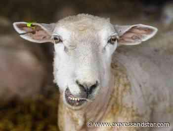 Sheep, lambs and calf stolen from Sandwell farm - expressandstar.com