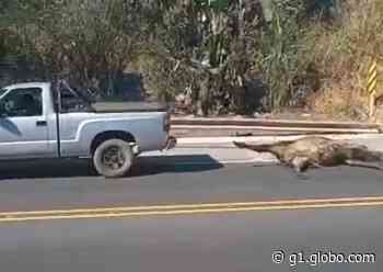 Caminhão carregado com bois tomba, animais são furtados e arrastados vivos; Vídeos fortes - G1