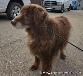 Dog likely dumped by owner in central Alberta rescued – Red Deer Advocate - Red Deer Advocate