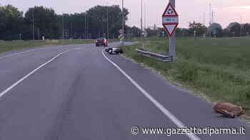 Centra un capriolo in scooter e finisce all'ospedale - Gazzetta di Parma