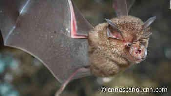 Investigadores chinos encuentran lotes de nuevos coronavirus en murciélagos - CNN