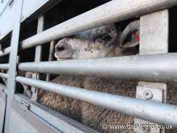 LETTER - People for the Ethical Treatment of Animals can for live export ban - Daily Echo